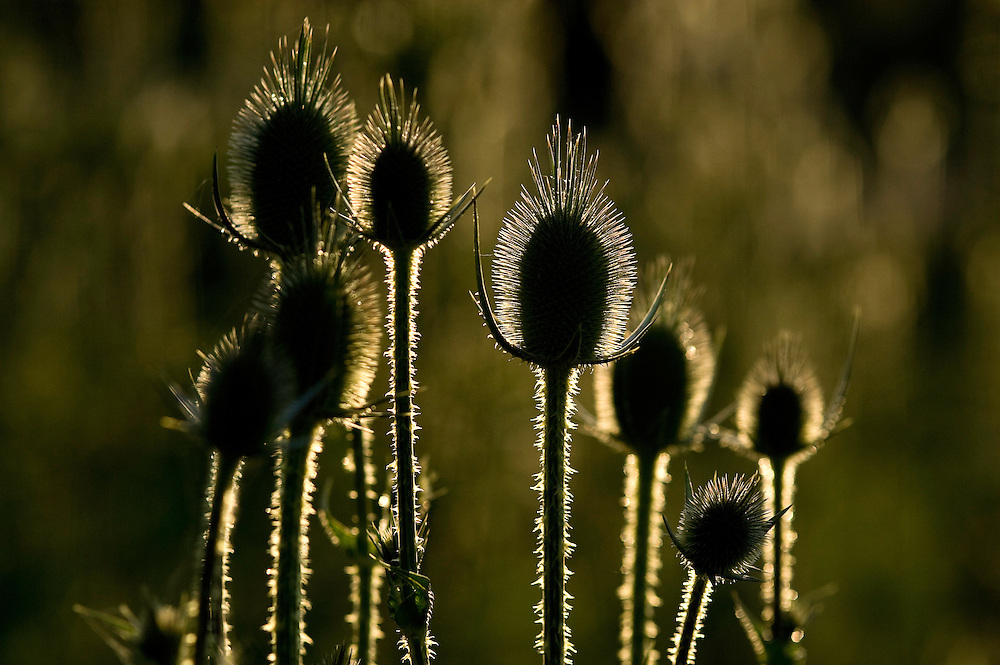 Burdock (Arctium lappa) in the sunset in Hortobagy National Park, Hungary