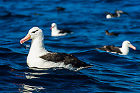 Black-Browed Albatrosses floating on the ocean , Cape Canyon Trawl Grounds, South Africa