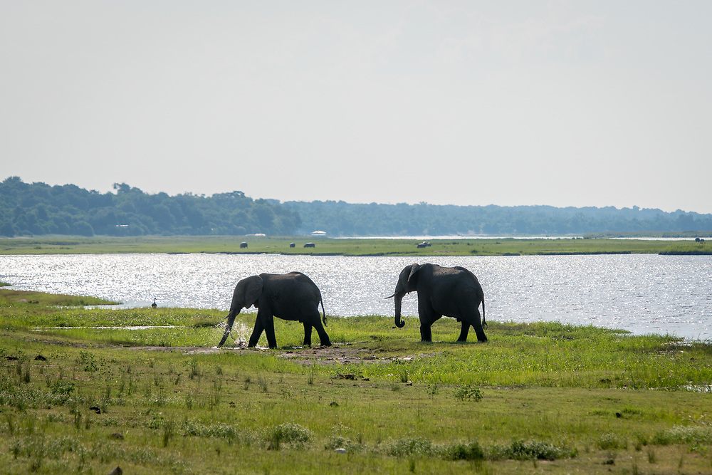 Two African bush elephants (Loxodonta africana) walk in tandem at the water's edge of marshy wetlands, Chobe National Park - Botswana