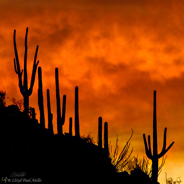 The last light of an Arizona desert sunset silhouettes the Saguaro cactus (Carnegiea gigantea) growing along a distant ridge.  The Saguaro cactus can grow 50-feet-tall, is composed of 85% water, and can weigh over 8 tons.  They are the largest member of the cactus family in the United States. Their skin is smooth and waxy with stout, 2-inch spines clustered on their ribs. The outer pulp can expand like an accordion when water is absorbed, increasing the diameter of the stem and raising its weight by up to a ton.  <br /> <br /> The Saguaro generally takes 47 to 67 years to attain a height of 6 feet, and can live for 150 &ndash; 200 years.  During that lifetime, a single cactus will produce 40 million seeds; however, in its harsh native environment, only one of these seeds will survive to replace the parent plant.  Indeed, young Saguaro&rsquo;s must start life under a tree or shrub to prevent them from desiccating.