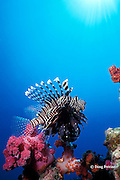 lionfish or turkeyfish, Pterois miles or Pterois volitans, Richilieu Rock, Surin Islands, Thailand, ( Andaman Sea, Indian Ocean )