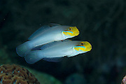 Usually in pairs, these colourful gobies main habitat is shallow water reef structures