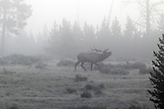 Rocky Mountain Elk bugling in early morning fog