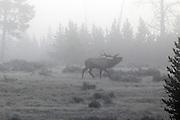 Rocky Mountain Elk bugling in early morning fog