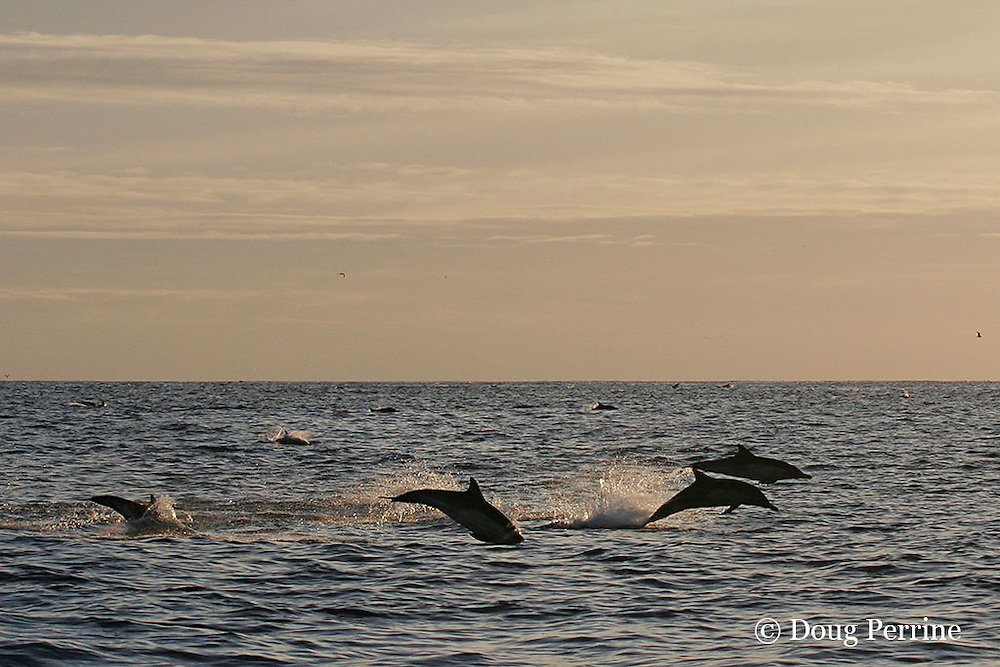 long-beaked common dolphins, Delphinus capensis (formerly lumped with common dolphin, Delphinus delphis ) porpoising out of water at sunset, off San Diego, California, U.S.A. ( eastern Pacific Ocean )