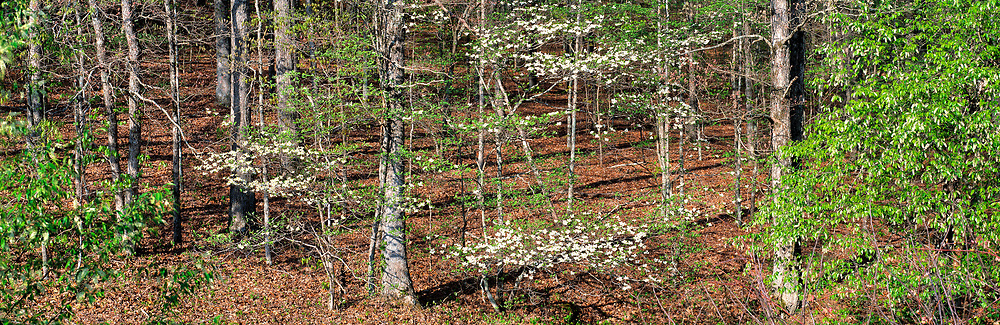 Dogwood blossoms, in The Trace, Land Between The Lakes, Kentucky.