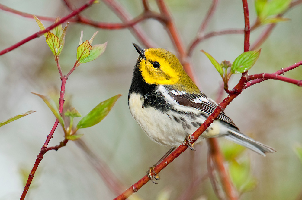 Black-throated Green Warbler, Setophaga virens, male, Tawas Point, Michigan