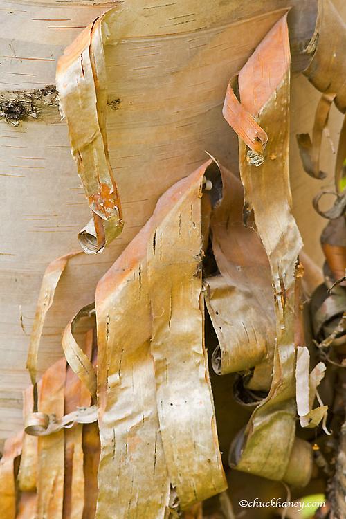 Birch bark curls as it peels from trunk