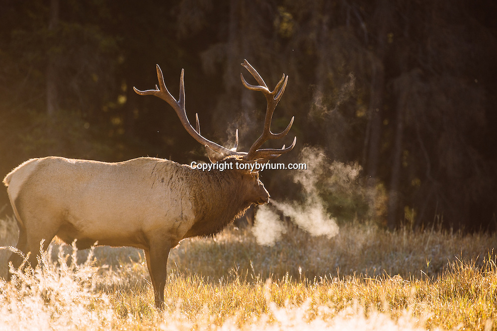 bull elk in meadow steaming breath backlit in meadow