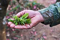 Chine, Province du Yunnan, region de Xishuangbanna,  ceuillette du thé // China, Yunnan, Xishuangbanna district, tea Picker picking tea leaves