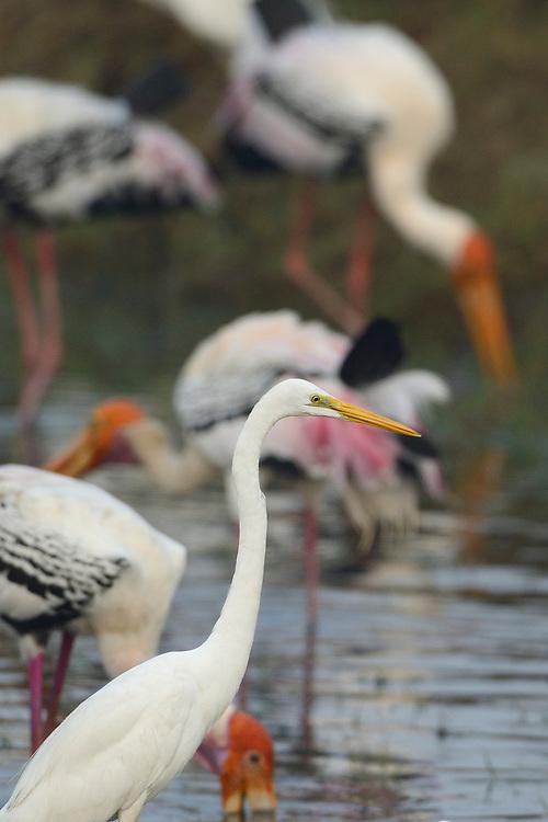Great White Egret, Casmerodius albus, Pulicat Lake, Tamil Nadu, India