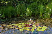 Ornamental lillies and reeds in garden wildlife pond with marginal plants in country garden summer in Swinbrook, The Cotswolds, UK
