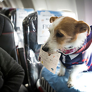 """CHIBA, JAPAN - JANUARY 27 : A dog with its flight ticket is seen in a plane in Chiba, Japan on January 27, 2017. Japan Airlines """"wan wan jet tour"""" allows owners and their dogs to travel together on a charter flight for a special three-day domestic tour to Kagoshima Prefecture, southwestern Japan. As part of the package tour, the owners and their dogs will also get to stay together in a hotel and go sightseeing in rented cars.  (Photo by Richard Atrero de Guzman/ANADOLU Agency)"""