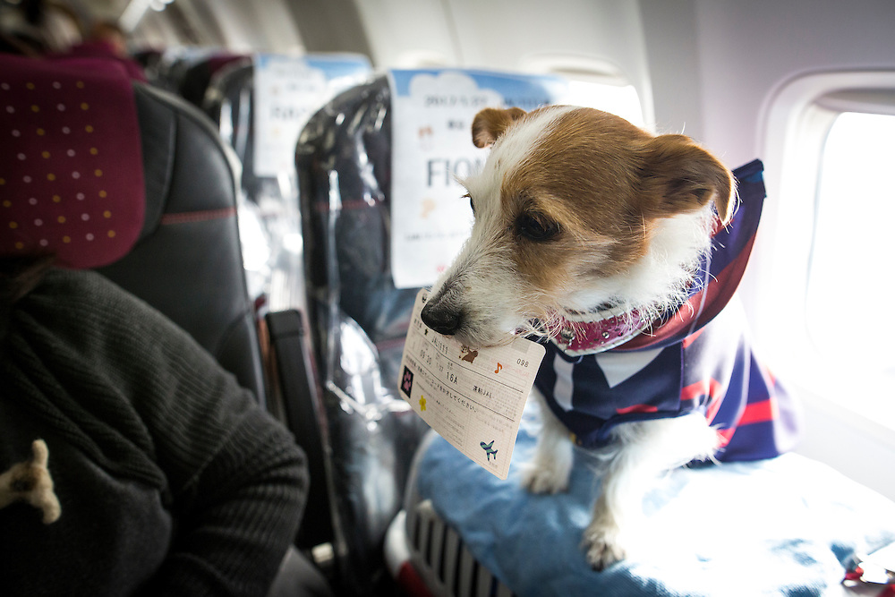 "CHIBA, JAPAN - JANUARY 27 : A dog with its flight ticket is seen in a plane in Chiba, Japan on January 27, 2017. Japan Airlines ""wan wan jet tour"" allows owners and their dogs to travel together on a charter flight for a special three-day domestic tour to Kagoshima Prefecture, southwestern Japan. As part of the package tour, the owners and their dogs will also get to stay together in a hotel and go sightseeing in rented cars.  (Photo by Richard Atrero de Guzman/ANADOLU Agency)"