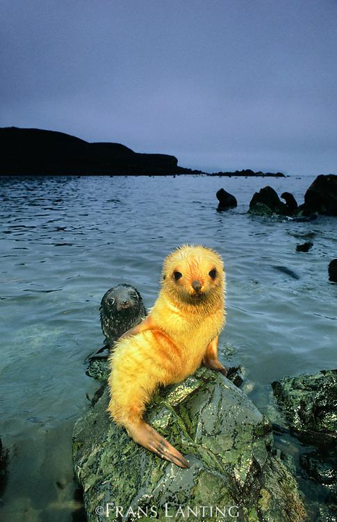 Antarctic fur seal pup, South Georgia Island