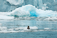 Curious Sea Otter (Enhydra lutris) among the icebergs of Surprise Glacier in Harriman Fjord in Prince William Sound in Southcentral Alaska. Summer. Afternoon.