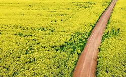 """South Africa - Cape Town - 1 September 2020 - Canola fields near Durbanville. According to an article by Wandile Sihlobo for Agricultural Economics Today """"...the good rains that the Western Cape received over the past couple of months will have a meaningful contribution to South Africa's 2020/21 winter crop production. The data released by the Crop Estimates Committee on August 27 shows that South Africa's 2020/21 wheat, barley and canola production could increase by 28% y/y, 46% y/y and 29%, respectively, to 1.96 million tonnes, 505 215 tonnes and 122 820 tonnes. The aforementioned wheat harvest will be the largest in a decade, while barley and canola harvests are the largest on record Picture: Henk Kruger/African News Agency(ANA)"""