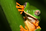 Alberto Carrera, Treefrog, Tropical Rainforest, Napo River Basin, Amazonia, Ecuador, South America, America