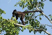 A Geoffroy's spider monkey (Ateles geoffroyi) sounds a warning.Tikal, GuatemalaTikal, Guatemala