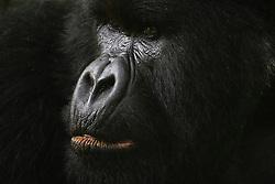 Close-up portrait of a male mountain gorilla (Gorilla beringei beringei), Park de Volcanoes ,Rwanda