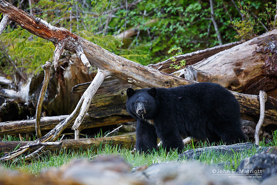 Black bear on the West Coast of British Columbia