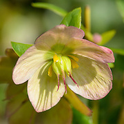 Helleborus flower