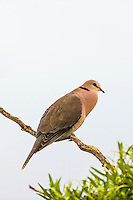 Red-Eyed Dove calling, De Hoop Nature Reserve, Western Cape, South Africa