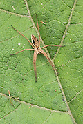 Macro image of a nursery web spider on a leaf near the ground at Shapwick Heath in Somerset.