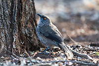 Arrow Marked Babbler, Satara, Kruger National Park, South Africa