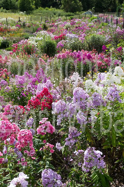 Phlox Garten, Sonnenberg, Wiesbaden, Hessen, Deutschland   phlox garden, Sonnenberg, Wiesbaden, Hesse, Germany