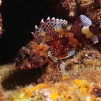 Scorpaena maderensis- Madeira rockfish