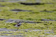 Banded Dotterel, Kaikoura, New Zealand