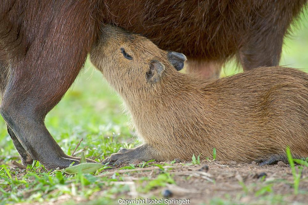 Capybara Nursing Young (Hydrochoerus hydrochaeris),Araras Echo Lodge,Mato Grosso,Sao Paulo,Brazil, (Photographer: Isobel Springett),