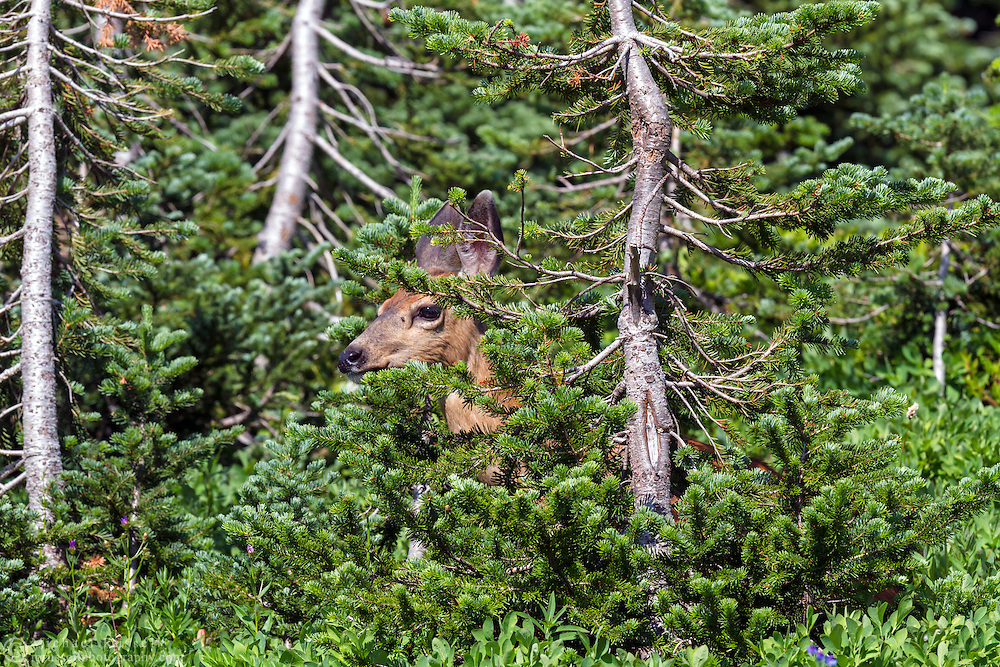 A Black-tailed Deer (Odocileus hemionus columbianus) forages behind a tree in the Paradise area of Mount Rainier National Park, Washington State, USA