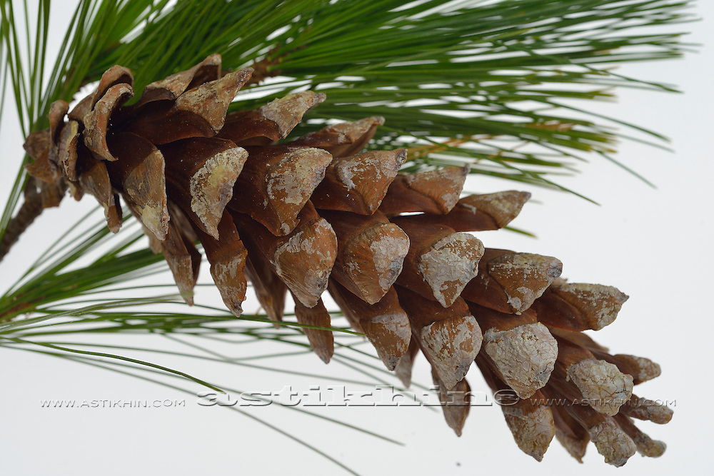 Pine Cone and needles on white background.