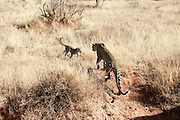 Kenya, Samburu National Reserve, Kenya, Leopard, Panthera pardus Mother and cub Photographed in August