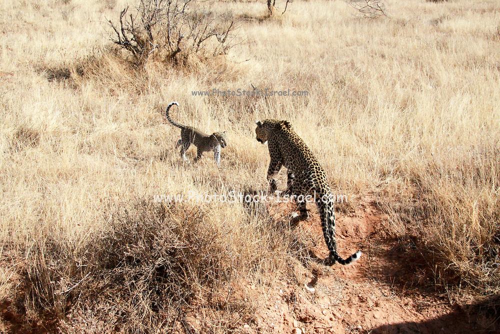 Kenya, Samburu National Reserve, Kenya, Leopard, Panthera pardus Mother and cub Photographed in August
