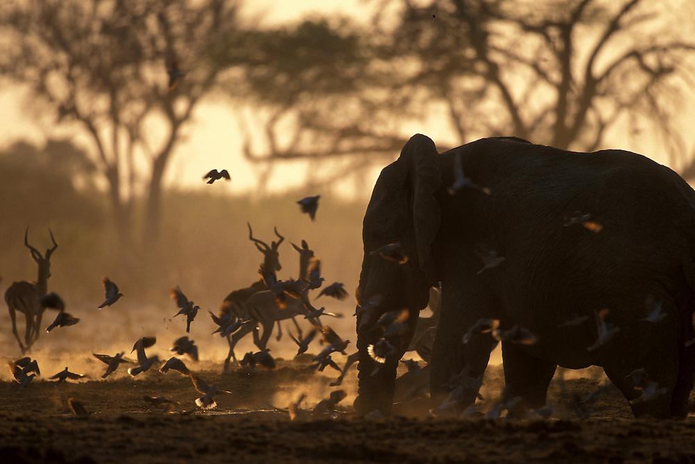 Botswana, Chobe National Park, Bull Elephants (Loxodonta africana) at water hole lit by rising sun at end of dry season