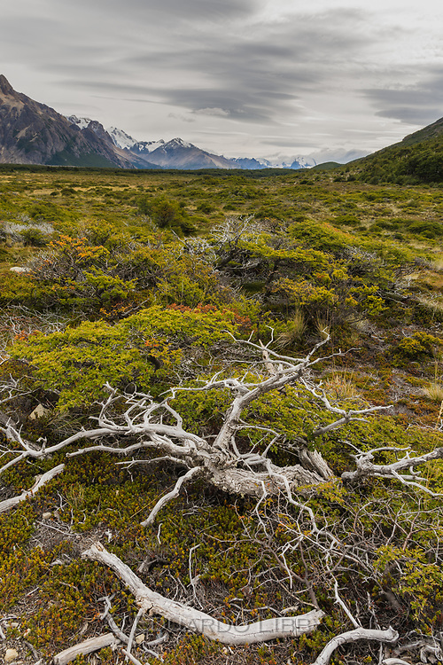 The Lenga tree (Southern Beeches) skeletons decay slowly in the Patagonian climate.