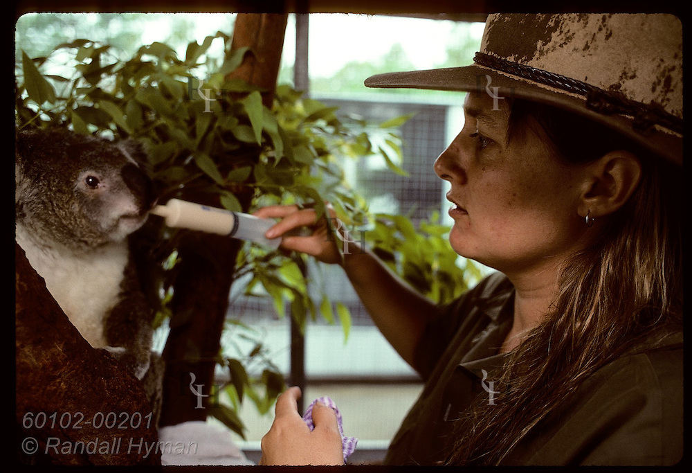 Veterinary nurse Lynne Douglas feeds baby formula to injured koala @ U of Queensland; Brisban Australia