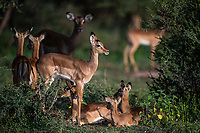 Impala lambs resting in a group together, Marataba Private Game Reserve, Limpopo, South Africa