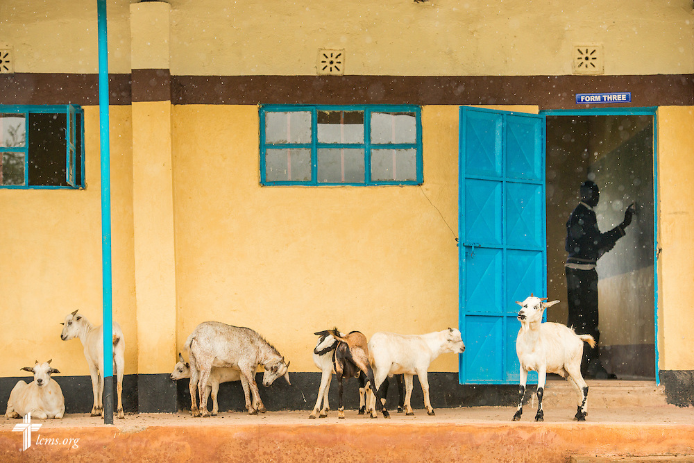 Goats loiter outside a classroom at the St. Augustine School on Friday, June 24, 2016, near Chepareria, Kenya. The school is home to a graduate of the U-Dom ELCK (Evangelical Lutheran Church in Kenya) Project 24 site. LCMS Communications/Erik M. Lunsford