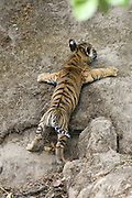 Bengal Tiger<br /> Panthera tigris <br /> Eight week old cub climbing den wall<br /> Bandhavgarh National Park, India
