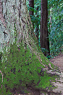 Green moss grows thick on the base of a tree, Muir Woods National Monument