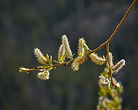 Pussy willow flowers. Rocky Mountain National Park. Image taken with a Nikon D2xs camera and 105 mm f/2.8 VR macro lens (ISO 100, 105 mm, f/8, 1/250 sec).