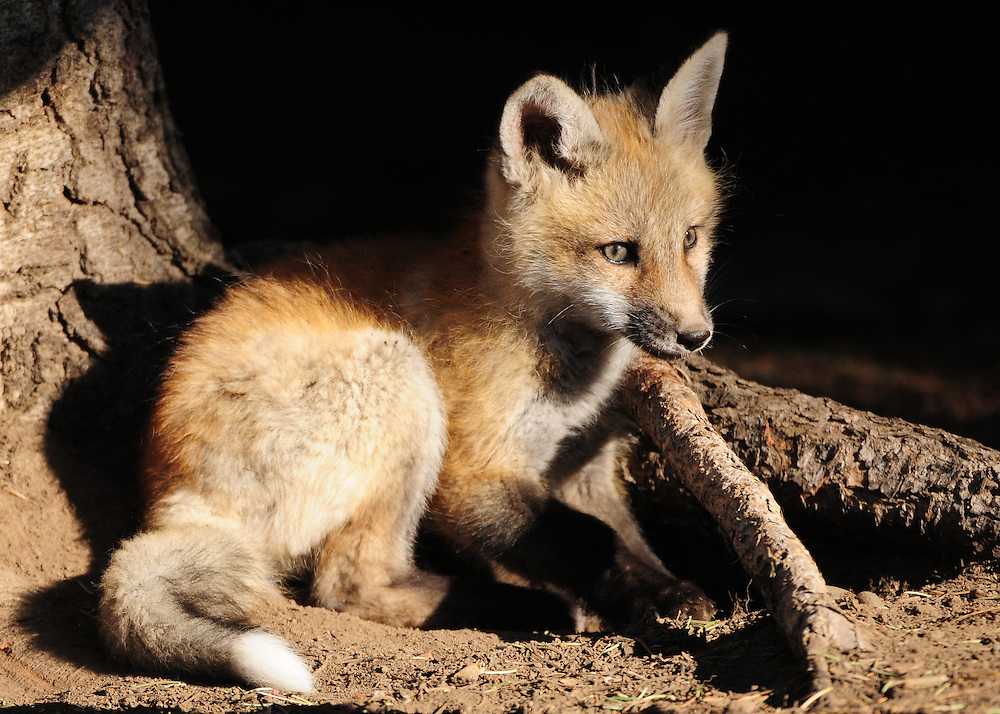 After an hour long play session, this young red fox kit returns to his den-site in preparation for a nap.