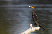 A double-crested cormorant (Phalacrocorax auritus) suns itself in the Washington Park Arboretum in Seattle. The wetlands of the Seattle Arboretum open into the freshwater of Lake Washington. The double-crested cormorant is one of only two types of cormorants often found in fresh water.