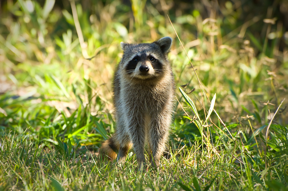 A very curious raccoon on Sanibel Island. This mother had two youngsters with her and was trying to determine if I was a threat.