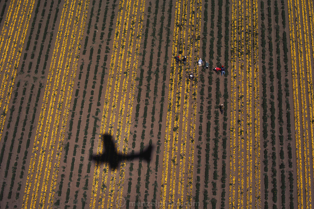 Aerial of farm workers culling variant marigold flower plants grown for seed, the shadow of the photographer's plane is lower left: Lompoc, California.