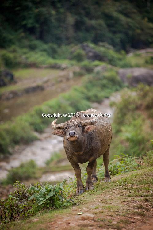 A buffalo walks the path above the terraced rice fields above Sapa, Vietnam.